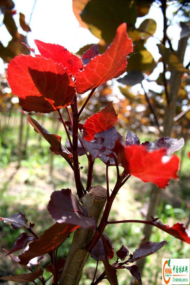 爬山虎的叶子简笔画_爬山虎种植方法