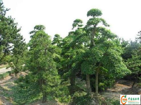 乔木价格,花灌木价格,色块灌木,松柏类和草坪价格的潢川苗木报价潢川