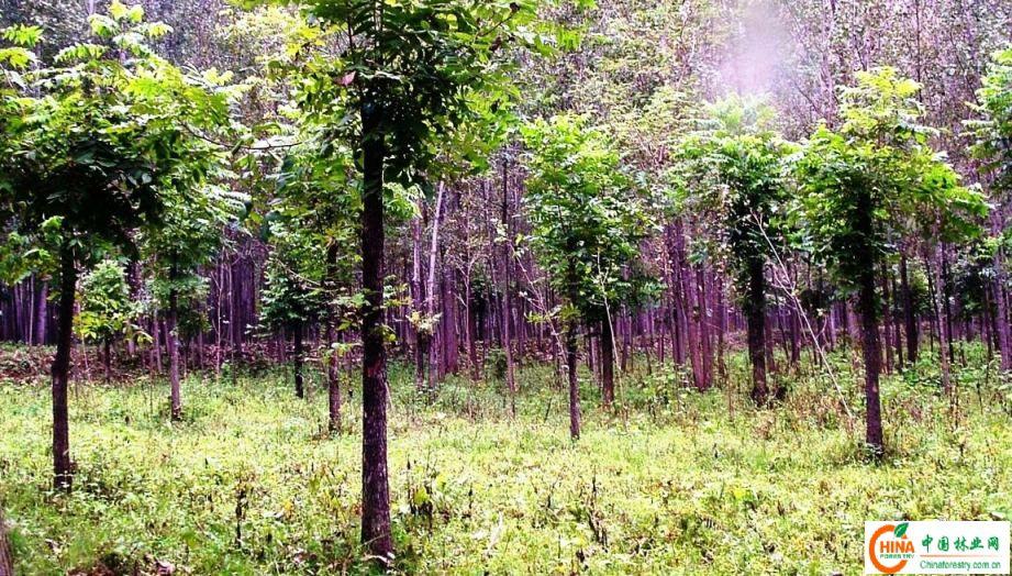 美国山核桃也称薄壳山核桃或长山核桃,具有树体高大挺直、树形美观、生命周期长、根系发达、病虫害少等显著优点,因而不仅是极具潜力的优良果用树种,也是园林绿化、庭院美化和行道树的优良树种。在美国的许多农场、庄园、公园、学校和教堂里,都可见到美国山核桃树的倩影。在我国,南京市太平北路两边就有树龄80多年的美国山核桃行道树,绿化、美化效果极佳,成为南京城的一个独特景观,深受市民喜爱。 为符合城镇绿化要求,今年春天我们对一部分美国山核桃树进行了截干和移栽。2009年冬至2010年春,我公司可供应美国山核桃树绿化树的规