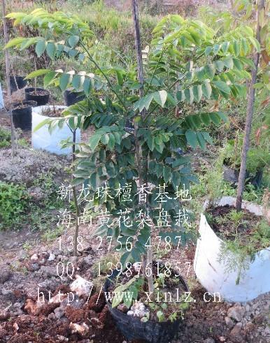 名称: 海南黄花梨树 (风景盘栽,高度1米)