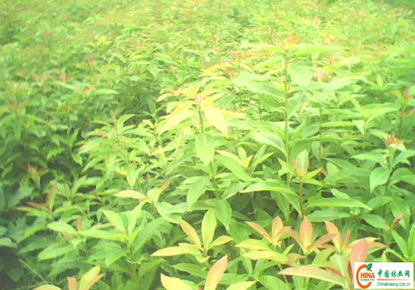 供应木荷苗-->中国林业网-->林业