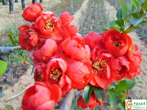 木瓜海棠花图片
