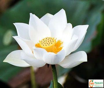 产品名称: 专业提供耐寒水生花卉荷花,睡莲 水葱,千屈菜/芦苇-菖蒲[供