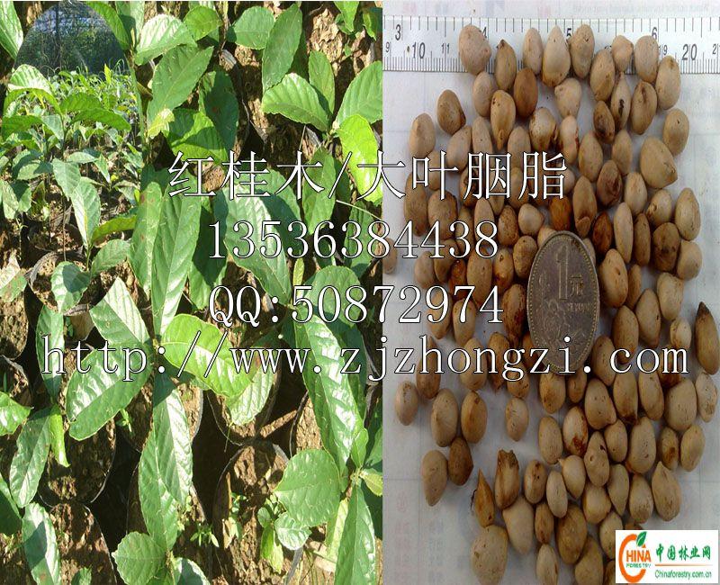 供应信息 产品名称 红桂木-->中国林业网-->林业人,的