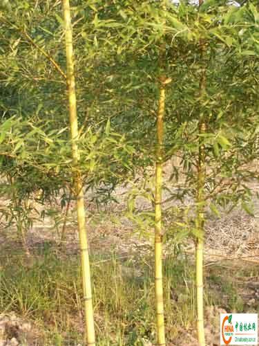 哺鸡竹金镶玉竹斑竹罗汉竹