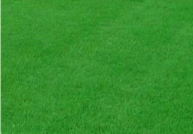 产品名称:剪股颖草坪