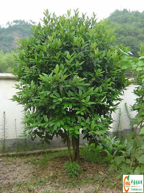 产品名称:大叶冬青风景树
