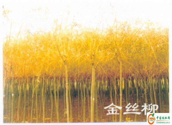 产品信息 产品名称 出售椿树,出售垂榆,出售白榆,出售