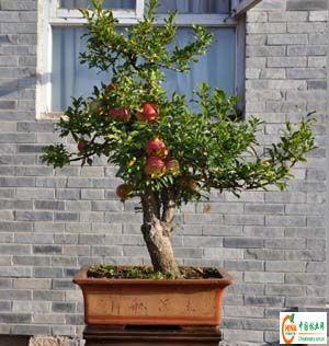 产品信息 产品名称 盆栽果树-->中国林业网-->林业人