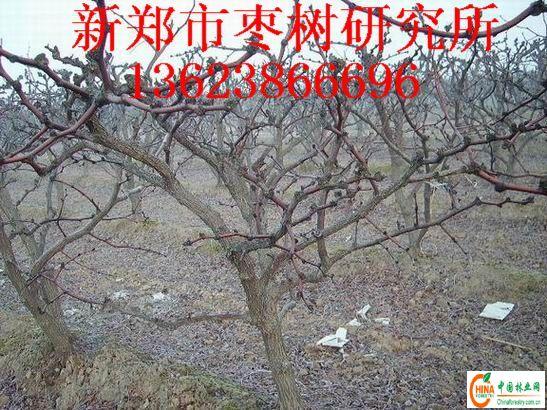 产品名称:枣树主要树形修剪技术-13623866696