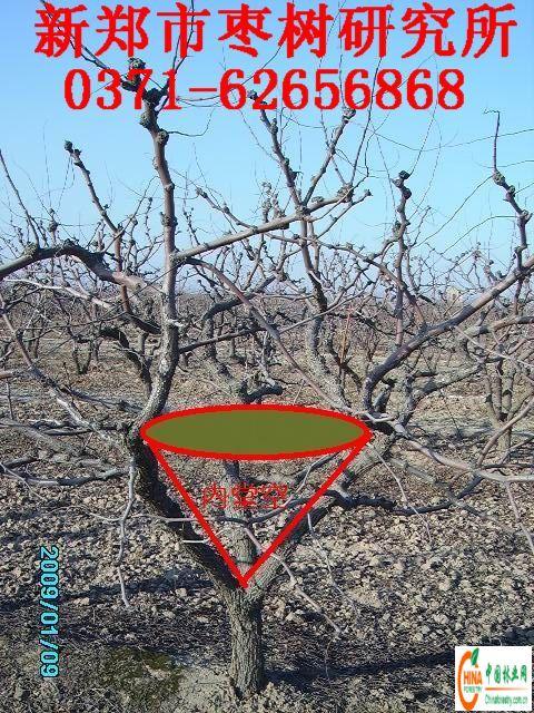 枣树主要树形修剪技术-www.wang
