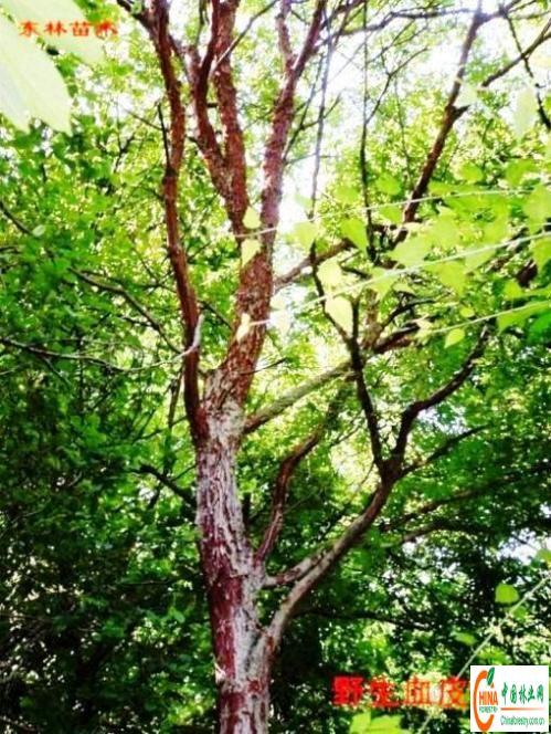 青榨槭(青皮椴),核桃树