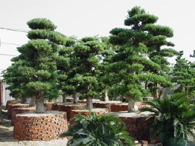 盆景 盆栽 树 松 松树 植物 390_293