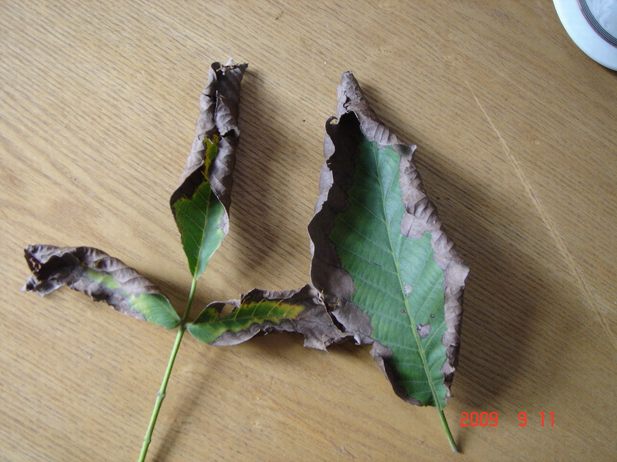 还有核桃树也有这种病状